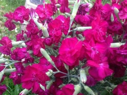 Гвоздика садова Гренадин. Мукачево. фото 1
