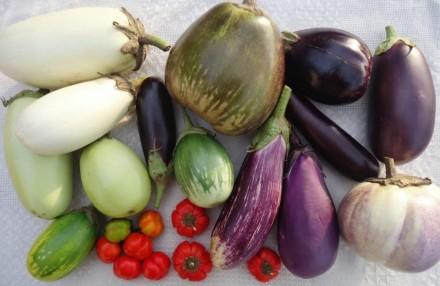 Семена баклажанов из личной коллекции. Прилуки. фото 1