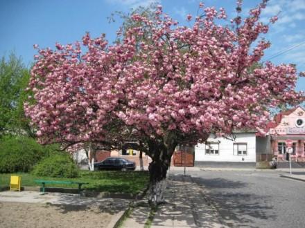 сакура. Виноградов. фото 1