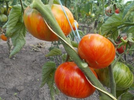 Пропоную насіння томатів, як екзотичних і рідкісних, так і традиційних, поширени. Прилуки, Чернігівська область. фото 4