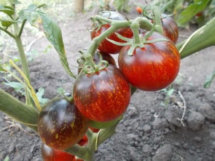 Пропоную насіння томатів, як екзотичних і рідкісних, так і традиційних, поширени. Прилуки, Чернігівська область. фото 3