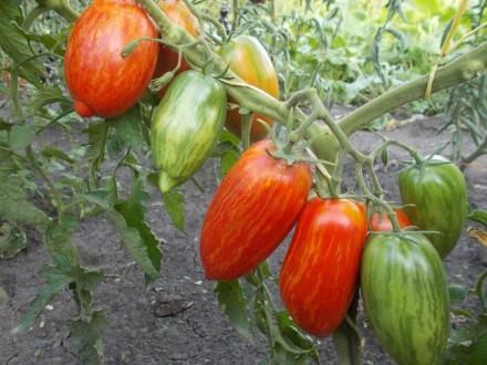 Пропоную насіння томатів, як екзотичних і рідкісних, так і традиційних, поширени. Прилуки, Чернігівська область. фото 8