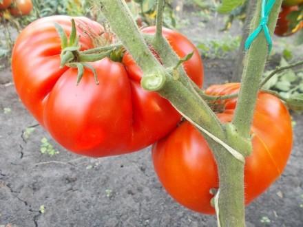 Пропоную насіння томатів, як екзотичних і рідкісних, так і традиційних, поширени. Прилуки, Чернігівська область. фото 6