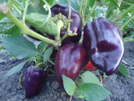 Пропоную насіння солодкого перцю, як екзотичних і рідкісних, так і традиційних, . Прилуки, Черниговская область. фото 3