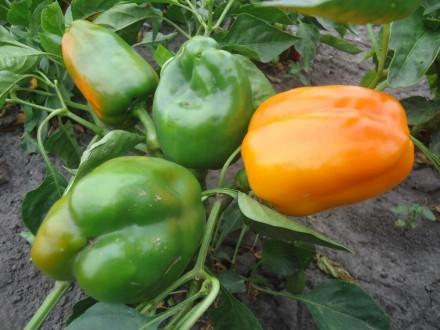 Пропоную насіння солодкого перцю, як екзотичних і рідкісних, так і традиційних, . Прилуки, Черниговская область. фото 9