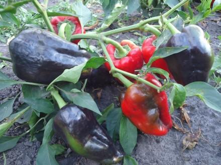 Пропоную насіння солодкого перцю, як екзотичних і рідкісних, так і традиційних, . Прилуки, Черниговская область. фото 6