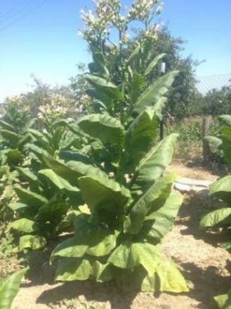 Продаю  сухий  листок тютюну.. Сокиряны. фото 1