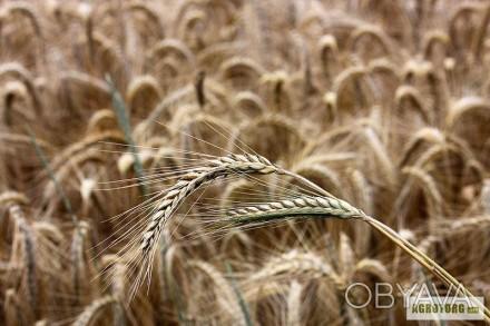 Жито озиме Велес