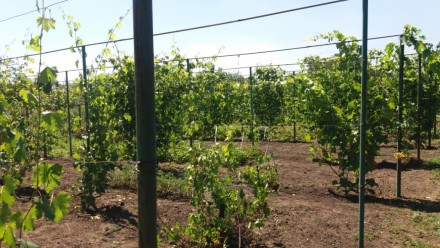 Продам виноградник.. Кривой Рог. фото 1