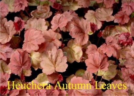 Гейхера Autumn Leaves (Осенний лист). Харків. фото 1