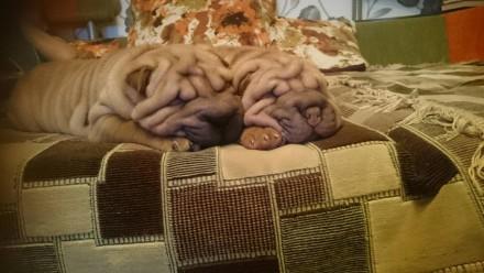 Шарпей очень добрые собаки. Ждут своего хозяена. Одеса, Одеська область. фото 4