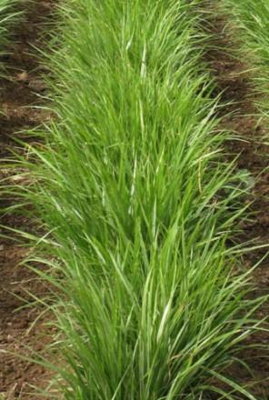 Продам насіння Чуфи (Земляний мигдаль). Белая Церковь. фото 1