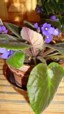 Продам цветок фиалки. Красный Луч. фото 1