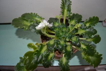 Комнатные цветы ФИАЛКИ высотой 10-15 см от горшка. Цветы выращены в домашних усл. Киев, Киевская область. фото 3
