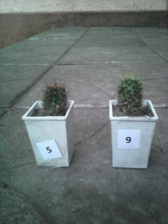 детки кактусов. Каменское. фото 1