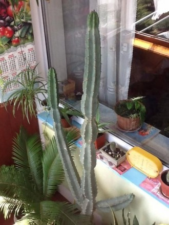 Продам кактус. Киев. фото 1
