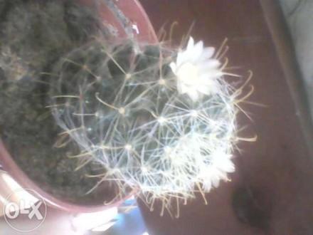 Достапно 3вида фото 1-4 ( білі,великі квіти ) і фото 5-6 (квітне дуже часто) Фот. Ковель, Волынская область. фото 3