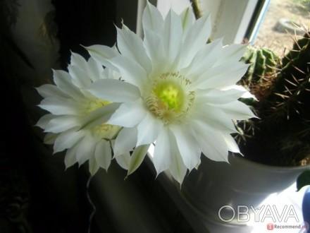 Достапно 3вида фото 1-4 ( білі,великі квіти ) і фото 5-6 (квітне дуже часто) Фот. Ковель, Волынская область. фото 1