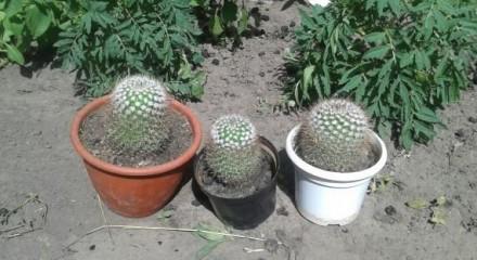Продам кактусы. Мена. фото 1