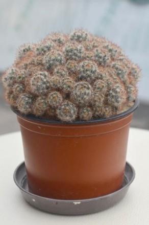 Цветок кактус. Чернигов. фото 1