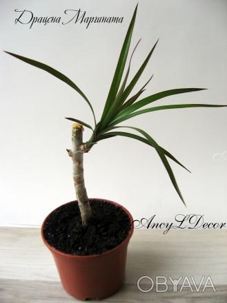 Продам драцену Маргината (или окаймленная) - красивое декоративное растение, нап. Киев, Киевская область. фото 1