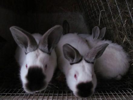 Кролики Калифорнийцы. Короп. фото 1