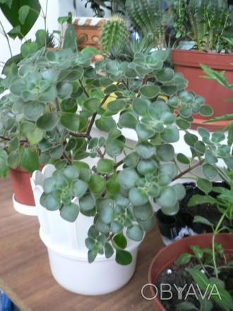 Продаются укорененные черенки аихризона, называемого деревом любви. Растет низко. Каменское, Днепропетровская область. фото 1