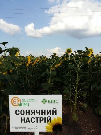 сщнячный настрий. Харьков. фото 1
