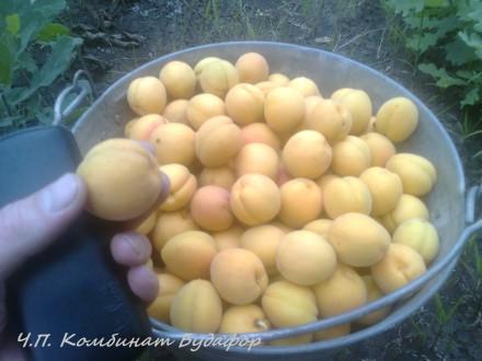 Саженцы персиков и абрикос оптом. Бахмут (Артемовск). фото 1