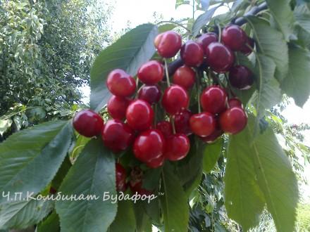 Саженцы колонновидных яблонь, груш, черешни Оптом.. Бахмут (Артемовск). фото 1
