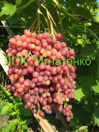 Саженцы винограда. Новая Каховка. фото 1