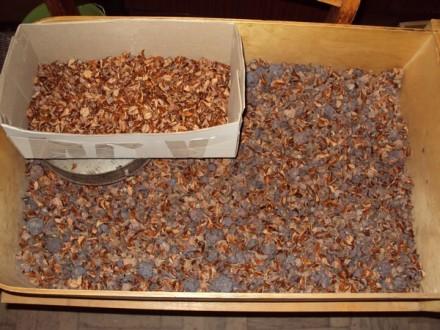 Продам семена Кипариса болотного или Таксодий (лат. Taxódium dístichum). Мукачево. фото 1