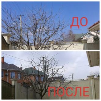 профессиональная обрезка деревьев, роз, ягодников, винограда... Одесса. фото 1
