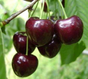 саженцы черешни 2х, абрикос нжа19,, слив,вишни,груш, яблок, роз. Киев. фото 1