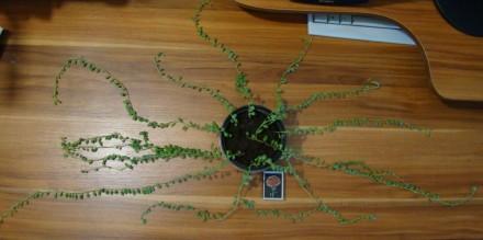 продам крестовники, 1) - длина наибольшей ветки 50 см за 115 грн, 2) - длина наи. Тростянец, Сумская область. фото 3