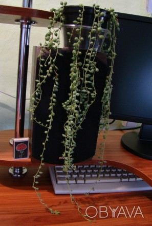 продам крестовники, 1) - длина наибольшей ветки 50 см за 115 грн, 2) - длина наи. Тростянец, Сумская область. фото 1