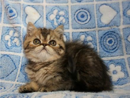 Котёнок Экзота. Киев. фото 1