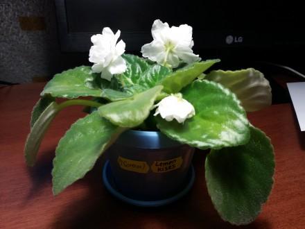Букеты ек-букет императрицы фиалка фото и описание цветов минск