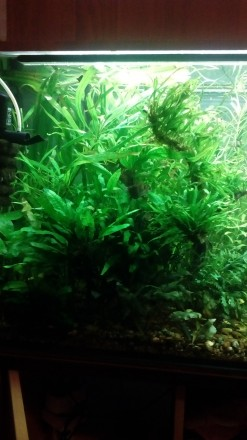 Аквариумные растения и креветки. Киев. фото 1