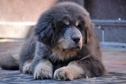 Продам щенков тибетского мастифа. Полтава. фото 1