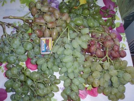 Саджанці винограду. Фастов. фото 1