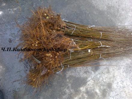 Подвой Айвы (вегетативка S-1 и сеянец) для груши и айвы. Бахмут (Артемовск). фото 1