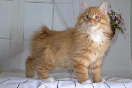 Котёнок курильского бобтейла. Чернигов. фото 1