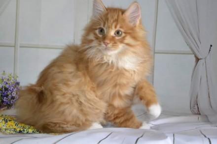 Котёнок курильского бобтейла, мальчик, предварительный резерв. Чернигов. фото 1