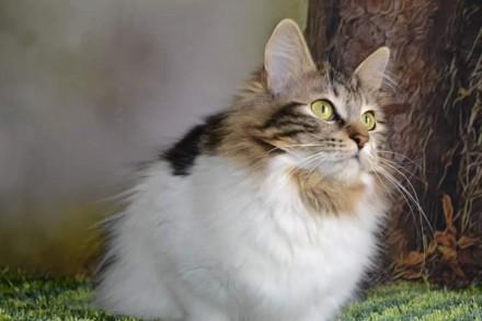 Кошечка курильского бобтейла, с титулом Чемпион породы. Чернигов. фото 1