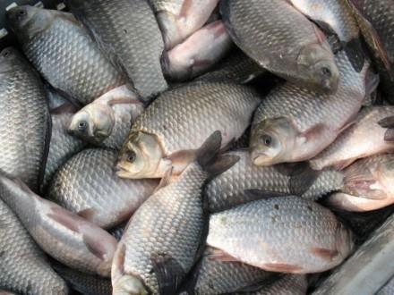 Продам оптом речную рыбу Продам оптом ставковую рыбу. Светловодск. фото 1