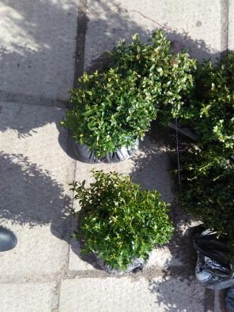 Продам кусты самшита круглые шары.могу переслать.звоните договоримся.опт и розни. Чернигов, Черниговская область. фото 12
