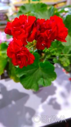 Пеларгония розебудная, комнатное красивое растение. Летом может находится на отк. Люботин, Харьковская область. фото 1