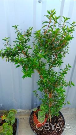 Мирт, комнатное растение, обладает целебными свойствами. Цветение июль-август. Я. Люботин, Харьковская область. фото 1