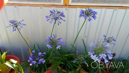 Агапантус голубой, многолетнее растение. Летом его выносят на свежий воздух, а н. Люботин, Харьковская область. фото 1